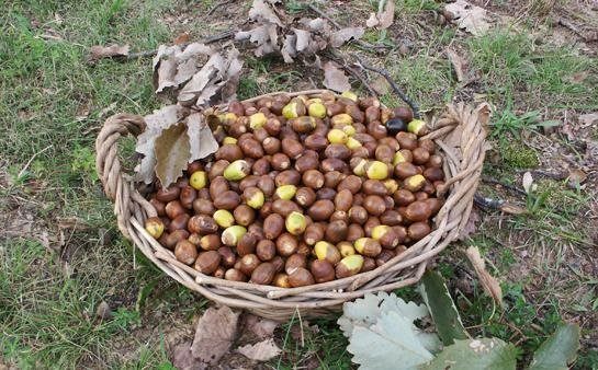 How to Eat Acorns: The Ultimate Survival Food   Outdoor Life Survival