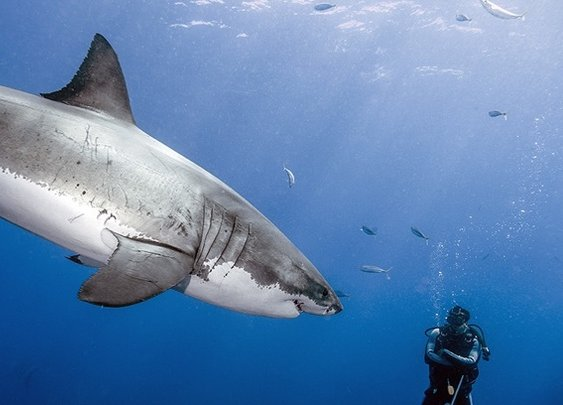 Photographer Dives with Great White Sharks...Without a Cage