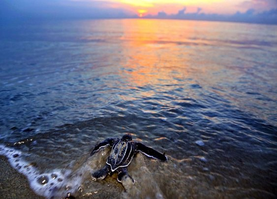 Turtles deposit eggs in record numbers, with a little help from their human friends.