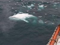 Extraordinary white humpback whale documented off Norway