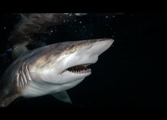 An Over Ambitious Young Tiger Shark
