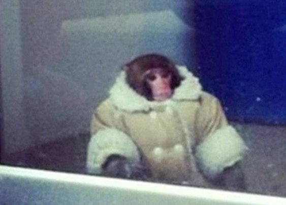 BBC News - Monkey in sheepskin jacket on the loose at Ikea in Toronto