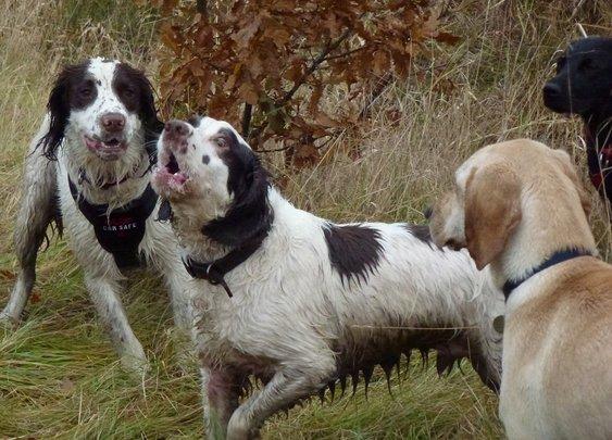 Jack the springer goes dog walking in Erskine with friends!