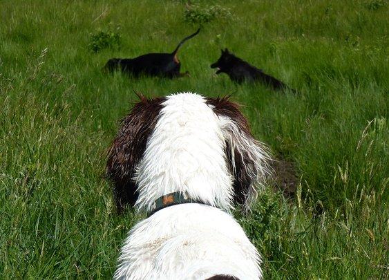 Springer spaniel pup, Nevis!