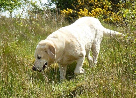 Bonnie the yellow labrador