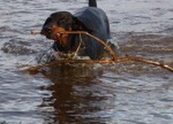 Doberman retrieving stick from river