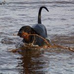 Doberman retrieving stick from river