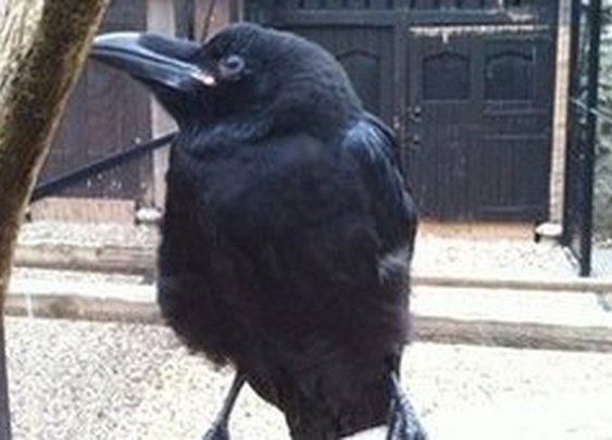 A Raven Called Jubilee