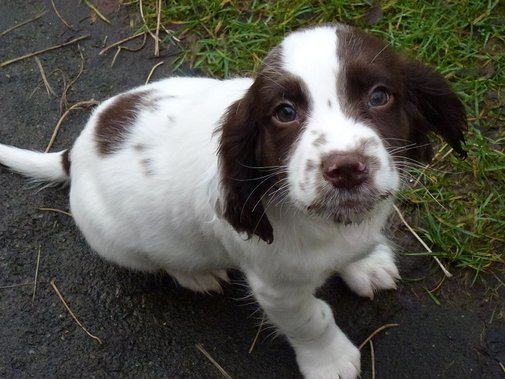Springer spaniel puppies join BDWS