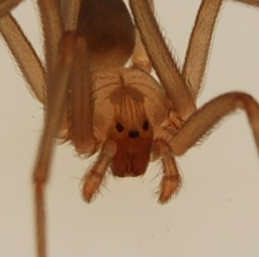 Trap Brown Recluse Spiders With a Sticky Trap