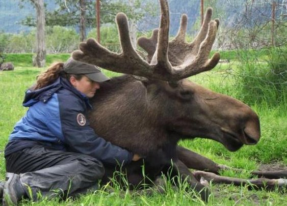 The 23-year-old has nurtured Jack since he was three days old and the enormous moose is fiercely protective of her.