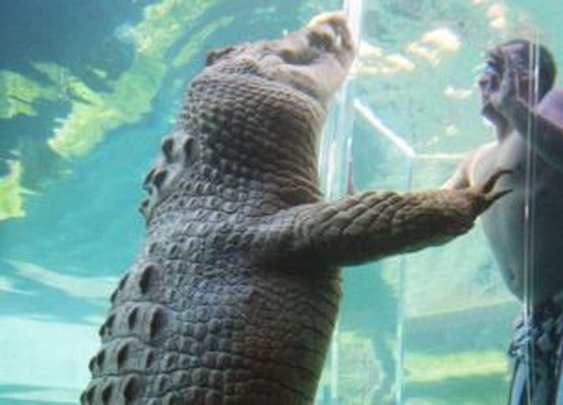 Thrill-seekers flock to Crocosaurus Cove to swim with the snappers