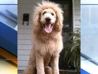 Is it a dog or a lion? Labradoodle's unusual look prompts 911 calls