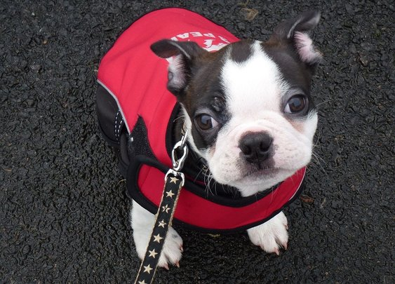 Boston terrier puppy, Buddy joins BDWS!