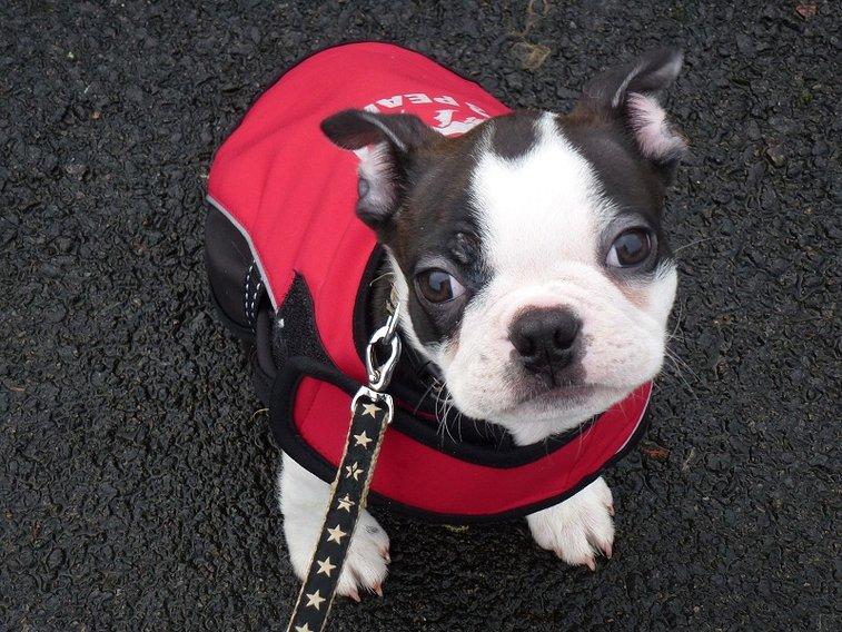 Boston terrier puppy, Buddy joins BDWS!