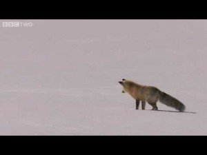 Fox diving into snow to catch its prey - BBC