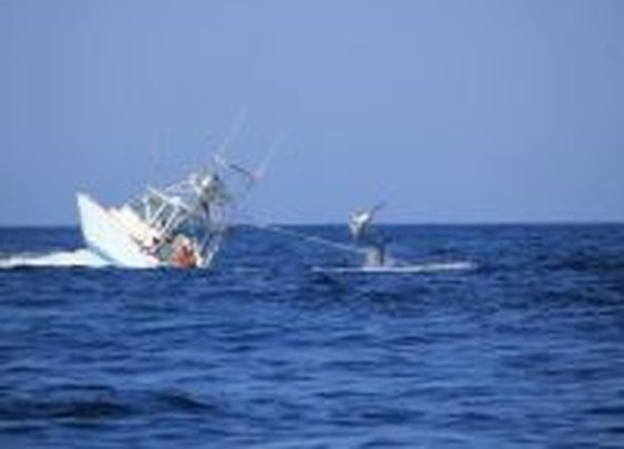 A hooked marlin sinks a fishing boat