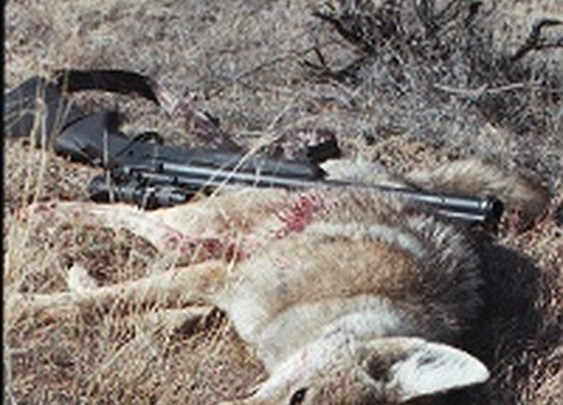 Coyote Hunting - How to Call Coyotes