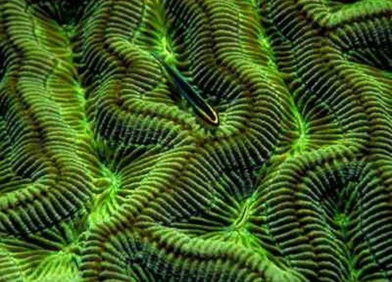 Brain Coral Jigsaw Puzzle - JigZone.com