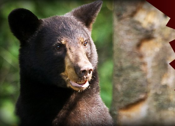 Camping with Bears – Safety in Bear Country | Manly Adventure