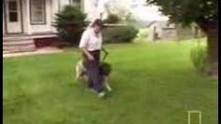 Caucasian mountain dog - YouTube