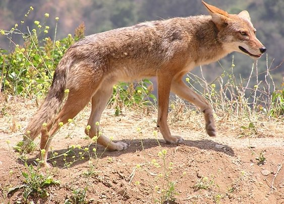 Kill a coyote in Utah and make $50 | ksl.com