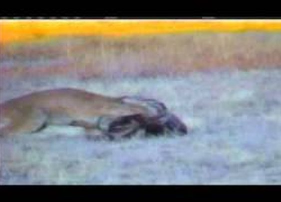 Mountain Lion Takes Down Mature 160 Class Mule Deer - YouTube