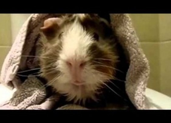 Guinea Pig Interview – Pets Add Life