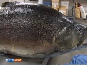 New Zealand brown trout is possibly a world record