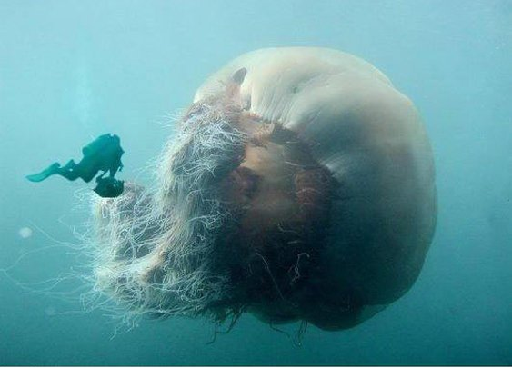 Largest jellyfish species in the world...