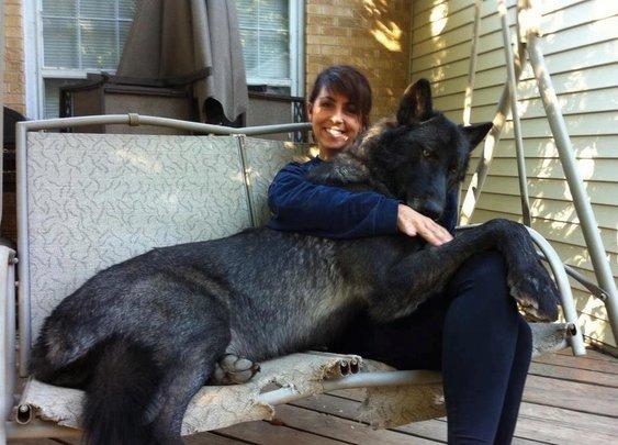 Hybrid black wolf