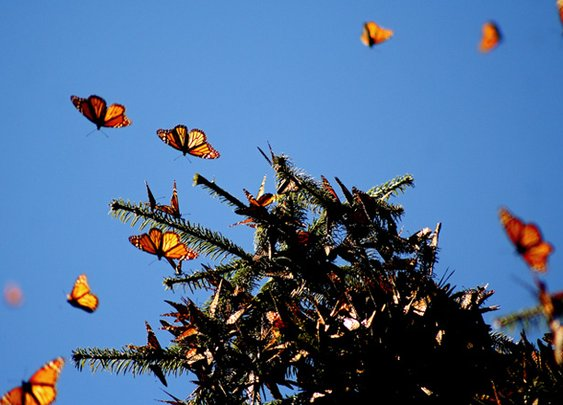Don't Move a Monarch Butterfly, It Could Get Lost