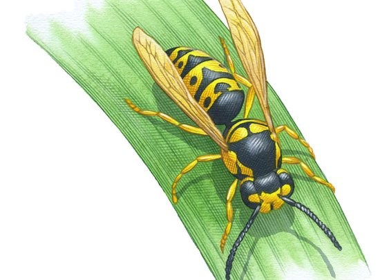 About Yellow Jackets and the Benefits of Wasps in the Garden – Organic Gardening – MOTHER EARTH NEWS