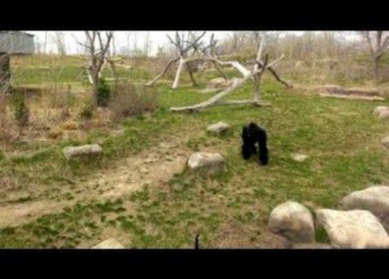 Sissy Gorilla or Brave Goose? You Decide   ClickExist