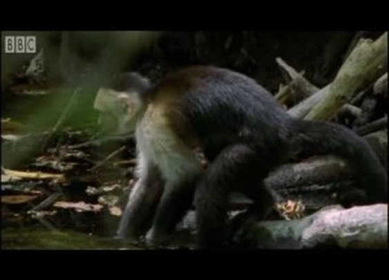 Monkey's bluff – Clever Monkeys – BBC Earth | ClickExist