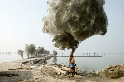 Actual Cobwebs- Floods Scare Spiders Into Trees.
