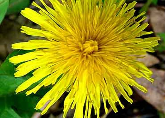 The Edible Plant - The Dandelion