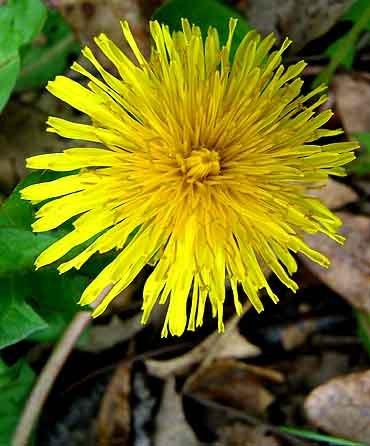 The Edible Plant - The Dandelion