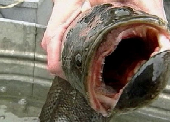 Frankenfish that can live out of water for days hunted in Central Park