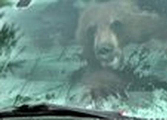 California: Man finds black bear in his truck (This is not a rarity in Alaska!)