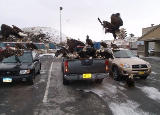 40 bald eagles descend on a pickup while its owner is shopping [pic & video] - 22 Words