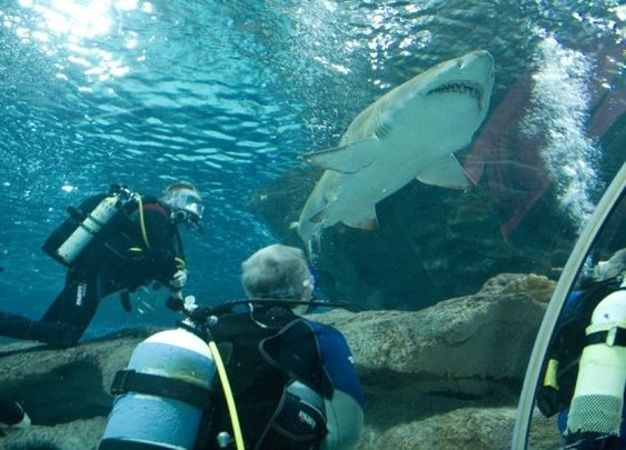 Diving with Sand Tiger Sharks.