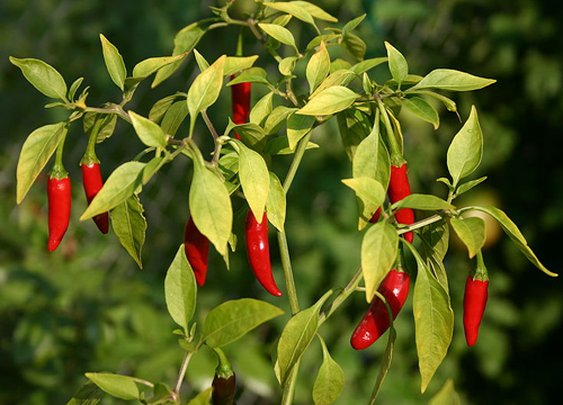 Breathtaking Fire: Cooking with Bird's Eye Peppers
