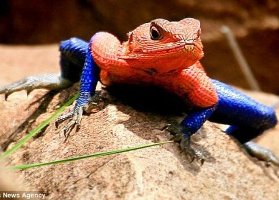 A Lizard That Looks Like Spiderman