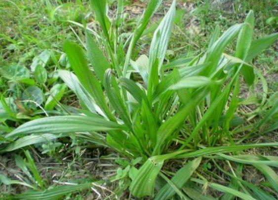 Medicinal Plant - Plantain