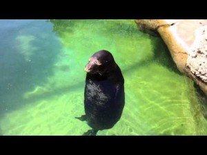 Silly, Spinning Hawaiian Monk Seal – Waikiki Aquarium