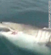 Great white shark swims up to fishermen - CNN.com Video
