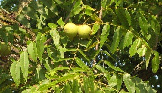 Harvesting Black Walnuts
