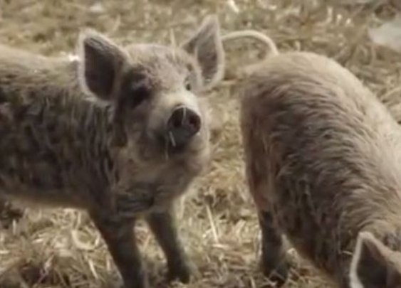 Feral Fight: Family Farm Battles Mich. Over Ban That Will Kill Livestock and Livelihood | Video | TheBlaze.com