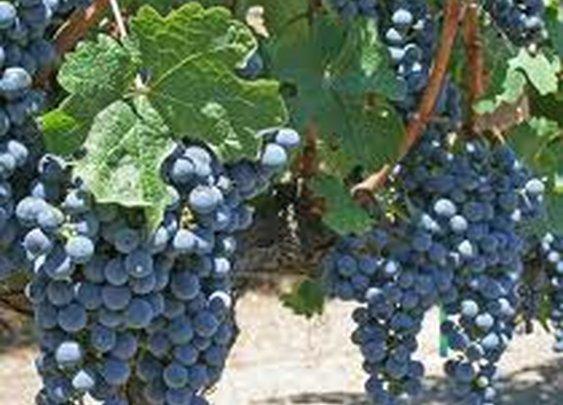 Remaining In The Vine- Sunday Prepper Bible Study - Prepper Recon.com